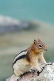 Wiewiórczy Chipmunk Obraz Royalty Free