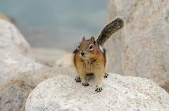 Wiewiórczy Chipmunk Fotografia Royalty Free