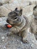 Wiewiórczy chrupanie na dokrętce w Monterey, Kalifornia zdjęcie stock