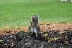 Wiewiórczy czekanie I Mieć_nadzieja Zdjęcia Royalty Free