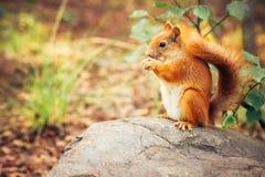 Wiewiórczy czerwony futerko z dokrętkami Zdjęcie Stock