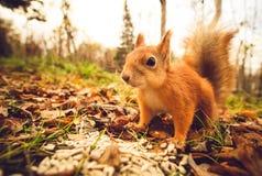 Wiewiórczy czerwony futerkowy śmieszny zwierzę domowe jesieni las na tle Zdjęcia Stock