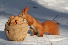 Wiewiórczy dokrętka wp8lywy z torby fotografia stock