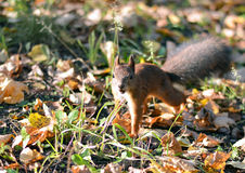 Wiewiórczy doskakiwanie w trawie obrazy stock
