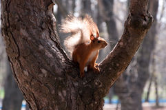 wiewiórczy drzewo zdjęcia royalty free