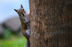 wiewiórczy drzewo Obrazy Stock