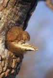 wiewiórczy drzewo Obraz Royalty Free