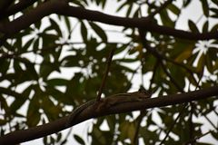 Wiewiórczy Dzwonić Fotografia Stock