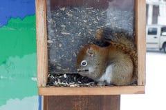 Wiewiórczy karmień ziarna w ptasim dozowniku, Fotografia Stock
