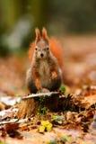 Wiewiórczy lasu parka Å tepã ¡ nka Fotografia Royalty Free
