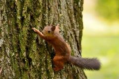 Wiewiórczy obsiadanie na drzewie Zdjęcia Royalty Free