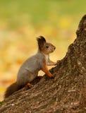 Wiewiórczy obsiadanie na drzewie obraz royalty free