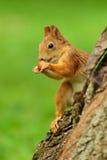 Wiewiórczy obsiadanie na drzewie obrazy royalty free