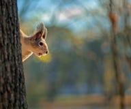 Wiewiórczy obsiadanie na drzewnym bagażniku z zamazanym tłem zdjęcie royalty free