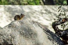 Wiewiórczy obsiadanie na górze skały w Rancho Oso, Kalifornia Zdjęcie Stock
