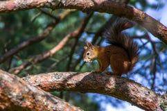 Wiewiórczy obsiadanie na gałąź Obraz Royalty Free