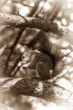 Wiewiórczy obsiadanie na gałąź Obrazy Stock