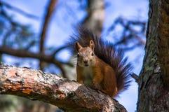 Wiewiórczy obsiadanie na gałąź Zdjęcia Stock