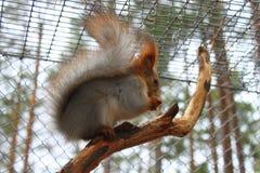 Wiewiórczy obsiadanie na gałąź zdjęcie royalty free