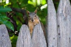 Wiewiórczy obsiadanie na ogrodzeniu Obraz Stock