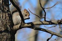 Wiewiórczy obsiadanie w drzewnej łasowanie dokrętce Obrazy Royalty Free
