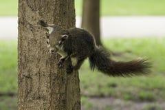 Wiewiórczy obwieszenie na drzewie zdjęcie stock