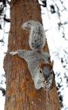 Wiewiórczy obwieszenie w drzewie Zdjęcia Royalty Free