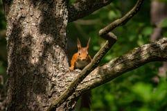 Wiewiórczy patrzeć w kierunku kamery Zdjęcie Stock
