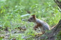 Mała czerwona wiewiórka Fotografia Royalty Free