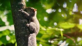 Wiewiórczy Poruszający Wokoło Drzewnego bagażnika Na słonecznym dniu zdjęcie wideo