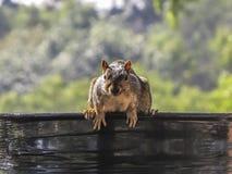 Wiewiórczy przygotowywający skok Fotografia Royalty Free