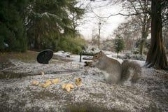 Wiewiórczy Sheffield ogródy botaniczni South Yorkshire Grudzień 20 zdjęcia stock
