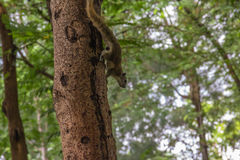 Wiewiórczy wspinaczkowy drzewo z plamy tłem zdjęcie royalty free