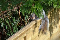 Wiewiórczy zerkanie przez krzaka obsiadania na ogrodzeniu obrazy royalty free