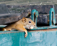 Wiewiórczy zerkanie z garażu kosza Fotografia Stock