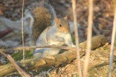 Wiewiórczy znalezienie dla jedzenia wśród gałąź zdjęcie royalty free