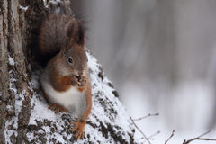 Wiewiórka. Obraz Stock