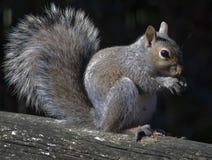 Wiewiórka. Zdjęcia Stock