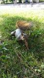 wiewiórka Zdjęcie Royalty Free
