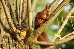 Wiewiórka a Zdjęcia Royalty Free