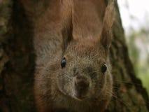 Wiewiórka -5 Obrazy Stock