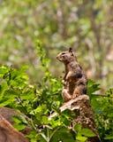 wiewiórka obrazy stock