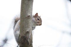 wiewiórka obraz stock