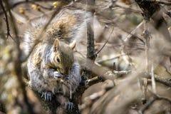 wiewiórka fotografia stock