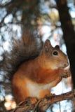 Wiewiórka, babeczka obraz stock
