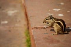 Wiewiórka bez ogonu łasowania Zdjęcia Royalty Free
