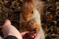 Wiewiórka bierze orzecha włoskiego od jego ręk Zdjęcia Royalty Free