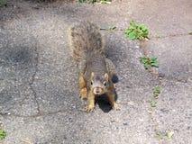 wiewiórka ciekawska Zdjęcia Stock