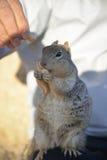 Wiewiórka cieszy się dokrętki zdjęcia stock