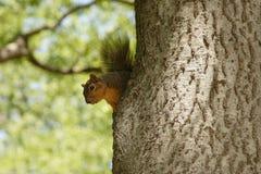 wiewiórka drzewo Zdjęcia Royalty Free